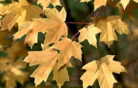 Southern Sugar Maple Acer Barbatum Floridanum